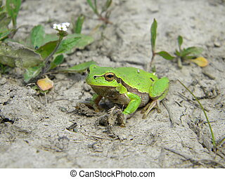 Tree frog on dry land
