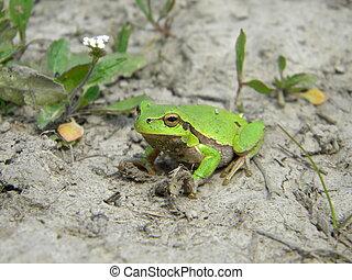 Tree frog on dry land
