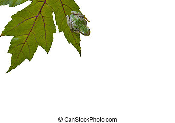Tree Frog on Green Leaf on White Background