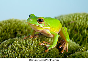 Tree frog on moss - White-lipped tree frog or Litoria ...