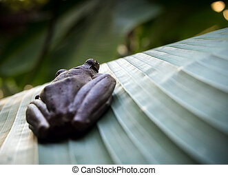 Tree Frog on the big green leaf