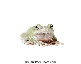 Tree frog on white