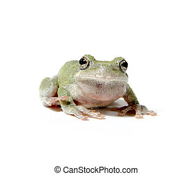 Tree frog on white
