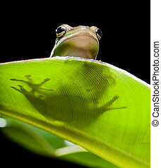 Tree frog shadow - Little green tree frog sitting on a...