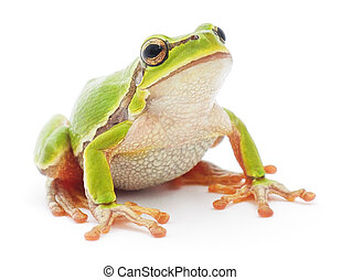 Tree frog - Small tree frog isolated on white background.