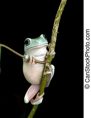 Tree frog - Whites tree frog