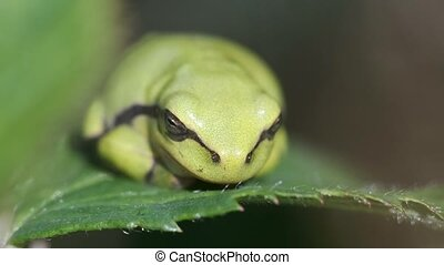 Tree Frog - Hyla arborea - young animal sunbathing - macro shot