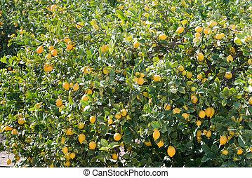 Tree full of lemons