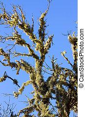 tree full of lichens