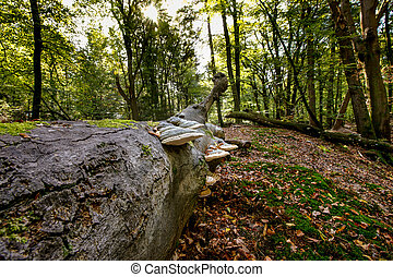 Tree fungus in the season: touchwood on a dead tree trunk in an autumn forest