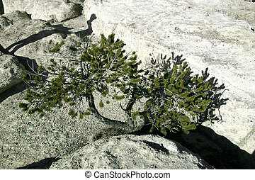 Tree Growing In Rock