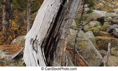 Tree growing on a stone in the mountains. Nature wonder trees growing from stony tops
