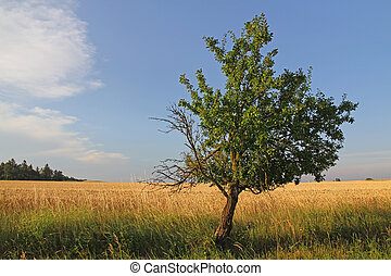 Tree in a field of wheat at sunset