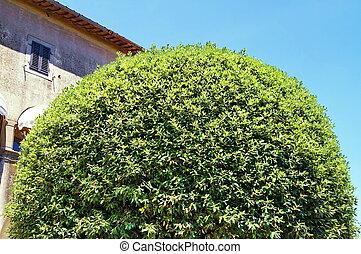 Tree in a garden of Fiesole, Tuscany
