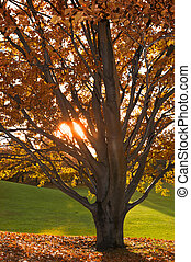 Tree in autumn, the sun shining through the branches and the...