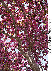 Tree in bloom - Tree blooming in a spring orchid on a sunny ...