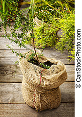 Tree in burlap pot
