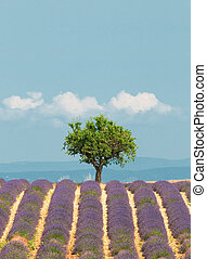 tree in lavender field, Provence, France