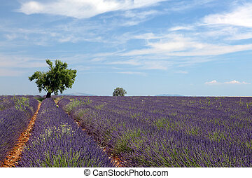 Tree in lavender field