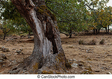 Tree in the field with a hole in its trunk
