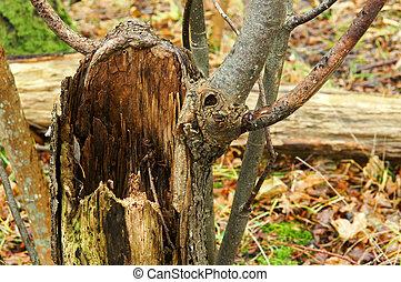 tree in the forest an old broken wet fallen
