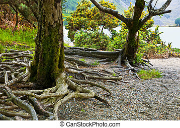 tree in the forest, Killarney National Park, County Kerry, republic of Ireland