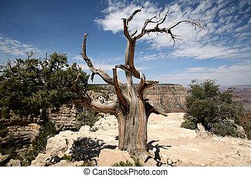 tree in the Grand Canyon, Arizona, USA
