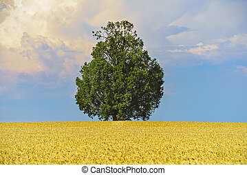 Tree in the middle of an oat field
