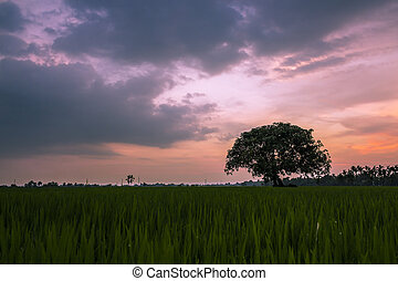 tree in the middle of rice fields
