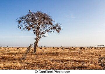 tree in the open savanna plains of Tsavo National Park