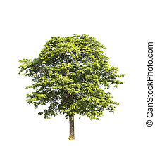 Tree in white background.