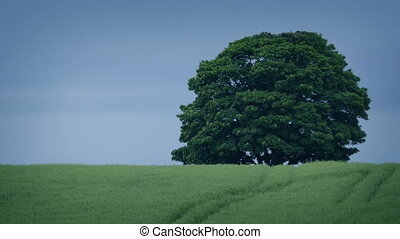 Tree In Windy Field - Large tree in stormy weather