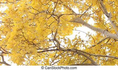 Tree in yellow leaves. Autumn day. Close up - Tree with...