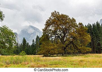 Tree in Yosemite National Park, California