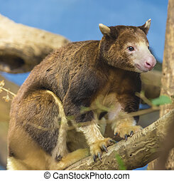 Tree Kangaroo - Close-up shot of a cute tree kangaroo