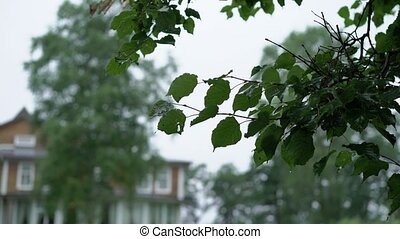 Tree leafs after rain - Tree leafs wet after rain