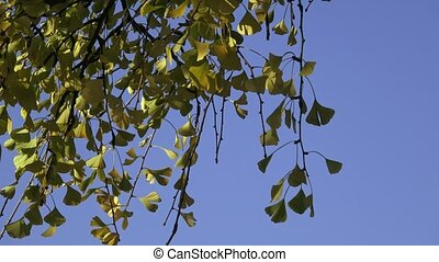Tree leaves in autumn (Ginkgo biloba)