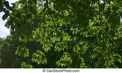 Tree leaves moving fast in the wind backlit, natural color