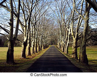 A paved driveway lined in old sycamore trees.