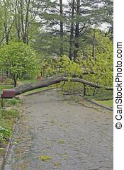 Tree Lying Across Street - A large, storm damaged oak tree...