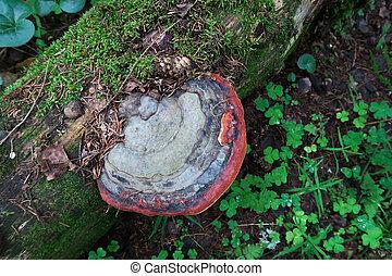 Tree mushroom chaga fungus growing on tree trunk