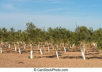 Tree nursery with rows of young olive trees