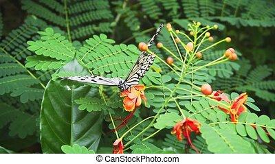 Tree Nymph Butterfly Feeding on Flower Nectar - Single tree...