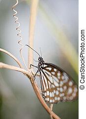 Tree Nymph butterfly Idea Leuconoe