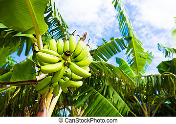 Tree of banana in the southern country