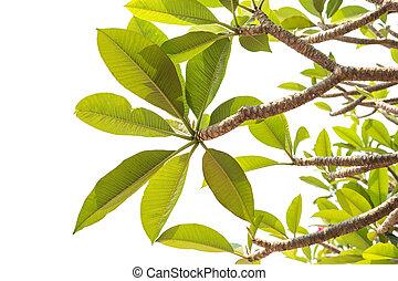 Tree of Frangipani flower isolated on white