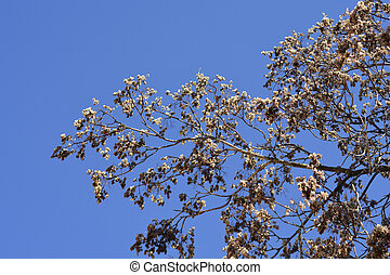 Tree of heaven bare branches with dry seeds - Latin name - Ailanthus altissima