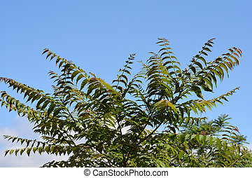 Tree of heaven branches against blue sky- Latin name - Ailanthus altissima