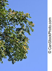 Tree of heaven - Latin name - Ailanthus altissima