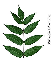 Tree of heaven, chinese sumac, ailanthus altissima leaf, isolated on white background